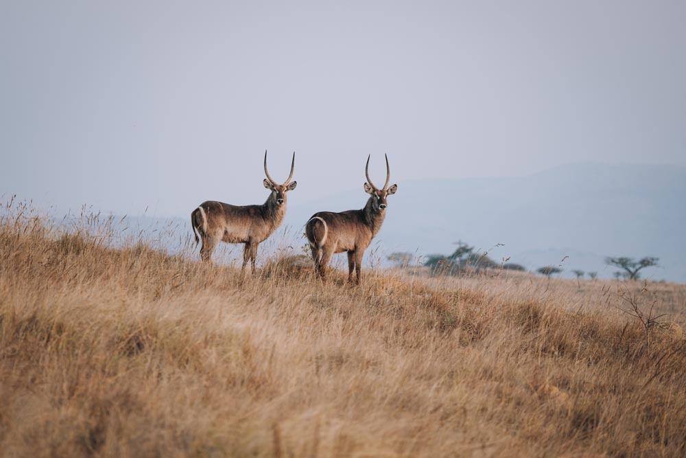 two waterbuck